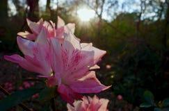 杜娟花群开花在晚上日落下 库存图片