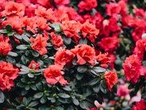 杜娟花花 开花的红色杜鹃花在庭院里 免版税库存图片