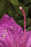 杜娟花雄芯花蕊和详细花雌蕊花关闭-宏观照片雄芯花蕊和雌蕊  免版税库存图片