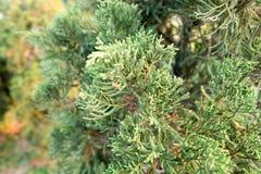杜松树在庭院里 免版税库存照片