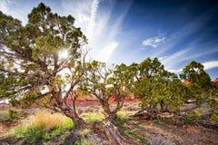 杜松树在拱门国家公园 免版税库存照片