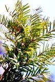 杜松灌木 库存图片