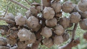 杜松种子莓果群在新墨西哥 免版税库存图片