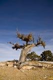 杜松结构树扭转了 免版税库存照片