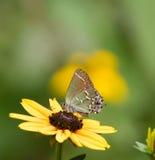 杜松翅上有细纹的蝶蝴蝶 免版税库存图片