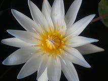 杜波伊斯,阴影,花,水,叶子,黄色,黑背景,颜色,水 免版税库存照片