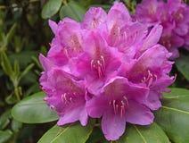 杜鹃花在春天 库存照片