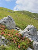 杜鹃花开花,高山牧场地风景,斯洛文尼亚 免版税库存照片