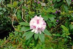 杜鹃花桃红色花在庭院里 免版税库存照片