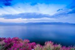 杜鹃花湖的mucronulatum边 库存图片