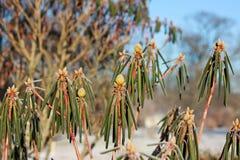 杜鹃花灌木在冬天 库存照片