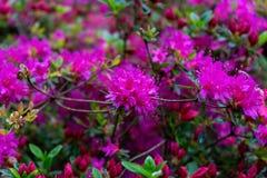杜鹃花,杜娟花桃红色花当自然背景 免版税库存照片
