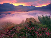杜鹃花,美丽的高山花 免版税库存照片