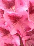 杜鹃花; 库存图片