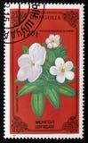 杜鹃花adamsii,系列致力了于花,大约1986年 免版税库存图片