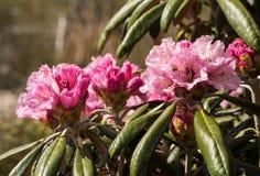 杜鹃花aganniphum在盛开在春天开花 库存图片