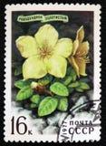 杜鹃花aureum Georgi,大约1977年 免版税库存图片