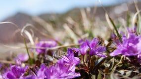杜鹃花camtschaticum遮盖物 免版税库存图片