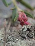杜鹃花tomentosum,狂放的迷迭香雌蕊,与强的焦点作用 免版税库存图片