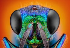 杜鹃黄蜂(Holopyga generosa)采取与10x显微镜宗旨   库存图片