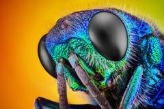 杜鹃黄蜂(Holopyga generosa)采取与10x显微镜宗旨   免版税库存图片