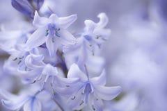 结束一些一棵会开蓝色钟形花的草 免版税库存照片