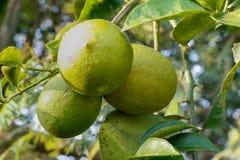 束与叶子和分支的绿色柠檬 库存图片