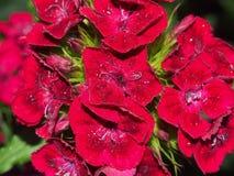 束中国康乃馨芽 背景美丽的刀片花园 从事园艺 免版税图库摄影
