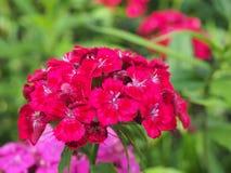 束中国康乃馨芽 背景美丽的刀片花园 从事园艺 库存照片