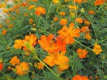 束充满活力的与一只收集的花蜜蜂的颜色开花的橙色波斯菊花 库存照片