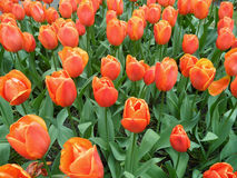 束充满活力的橙色在Keukenhof庭院的颜色开花的郁金香花 免版税图库摄影