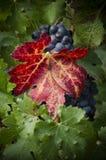 束剪报葡萄包括的路径 免版税库存照片