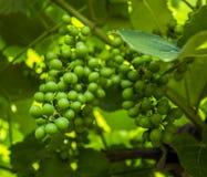 束剪报葡萄包括的路径 库存图片
