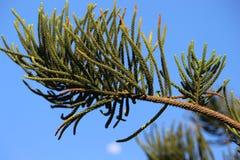束南洋杉columnaris在庭院把看法留在 库存照片