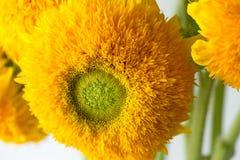 束向日葵在一个玻璃花瓶的玩具熊 有多朵大黄色金黄双重花的一棵矮小的向日葵植物 免版税图库摄影
