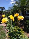 束和平玫瑰 免版税库存图片