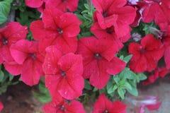 束喇叭花花在庭院里 库存图片