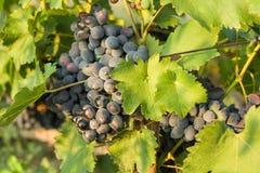 束在一个分支的蓝色葡萄与在晴朗的绿色叶子 库存照片