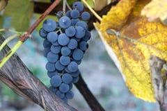 束在一个葡萄园的成熟葡萄在葡萄园里 免版税库存照片
