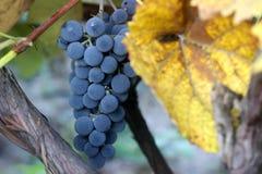 束在一个葡萄园的成熟葡萄在葡萄园里 库存图片