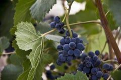 束在分支的成熟水多的葡萄 免版税库存照片