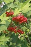 束在分支的荚莲属的植物莓果,成熟晚夏 免版税库存照片