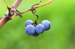 束在卷须的墨尔乐红葡萄酒葡萄在一个葡萄园里在藤收获期间的保加利亚 免版税图库摄影