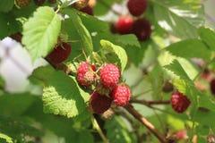 束在夏天太阳的成熟莓 免版税库存图片