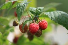 束在夏天太阳的成熟莓 免版税库存照片