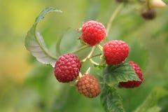 束在夏天太阳的成熟莓 图库摄影