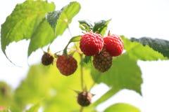 束在夏天太阳的成熟莓 库存图片