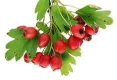 束在枝杈的红色真正的森林山楂树莓果 查出 图库摄影