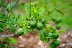 束在柠檬树分支的新鲜的成熟石灰 库存照片