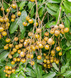 束在树的新鲜的龙眼,泰国 免版税库存图片